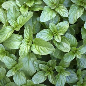 Munt Basilicum plant