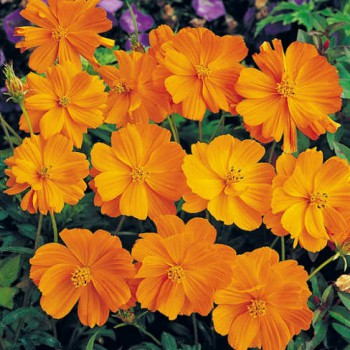 Cosmea Sunset Orange