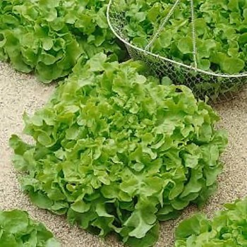 Pluksla Salad Bowl Green