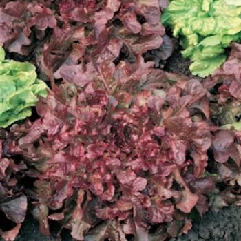 Pluksla Salad Bowl Red