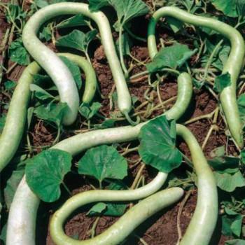 Sicilian Snake