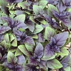 Basilicum purple opal