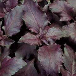 Basilicum rood