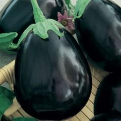 Aubergine plant Black Beauty