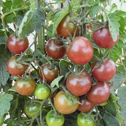 Tomatenplant Black Cherry