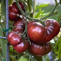Tomatenplant Black Krim
