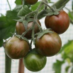 Tomaten plant Black Zebra Cherry