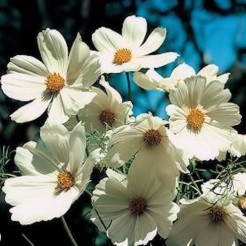 Cosmea Purity