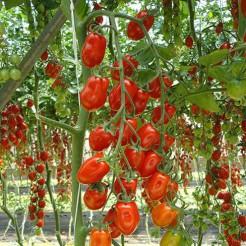 Tomaten plant Datterino F1