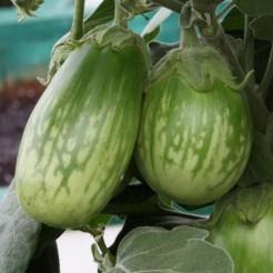 Aubergine plant Emerald Isle