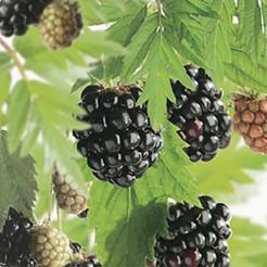 Kleinfruit Doornloze Braam Thornless Evergreen