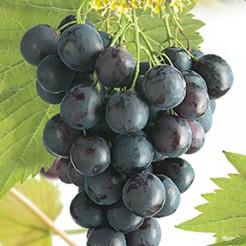 Kleinfruit Druif Muscat Blue