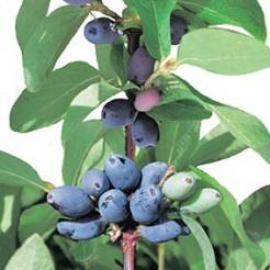 Kleinfruit Blauwe Honingbes