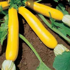 Courgetteplant Goldena