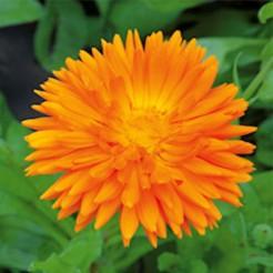 Goudsbloem Ball's Oranje