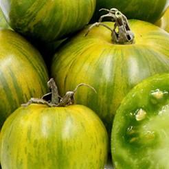 Tomaten plant Green Zebra