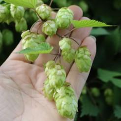 Hop plant Gewone Hop