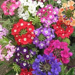 IJzerhard Ideal Florist gemengd