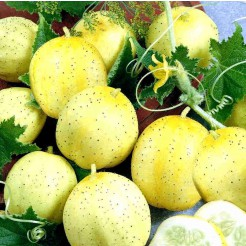 Komkommerplantje Citroen