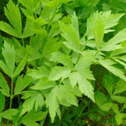 Maggiplant