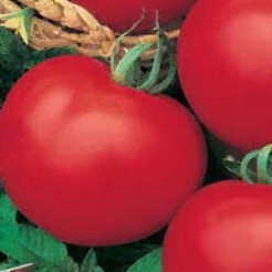 Tomatenplant Moneymaker