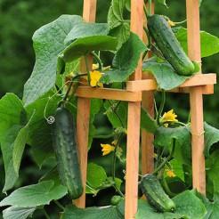 Komkommer plant Patio Snacker