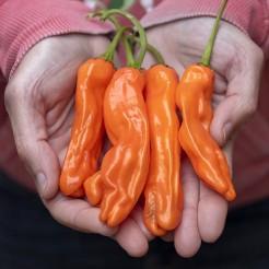 Peter Peper oranje
