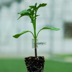 Onderstam tomaat Protector