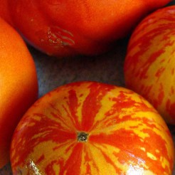 Tomaten plant Red Zebra