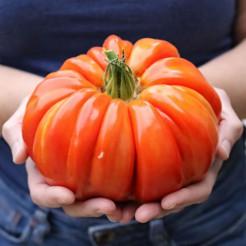 Tomatenplant Riccio di Parma