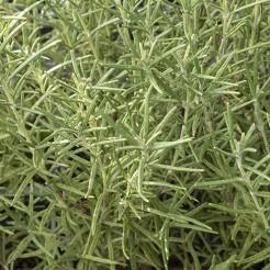 Rozemarijn Fijn Sissinghurst plant