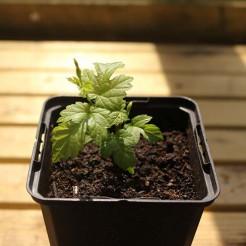 Hop plant Saphir