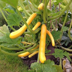 Courgetteplant Shooting Star F1