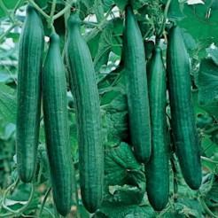 Komkommer plant Telegraph