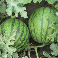 Watermeloen Bingo