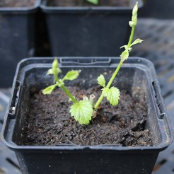 Hop plant Willamette