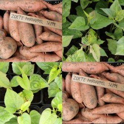 Zoete aardappel plantjes Seppe