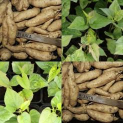 Zoete aardappel plantjes Witte van de Ecohoeve
