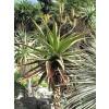 Aloe spectabilis