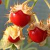 Litchi tomaat